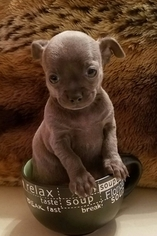 Chihuahua Puppy For Sale in JAMAICA, NY