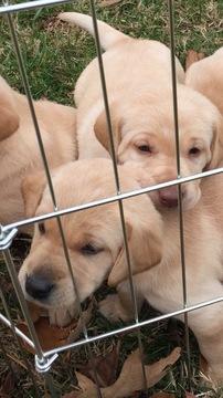 View Ad Labrador Retriever Puppy For Sale Near Virginia Virginia
