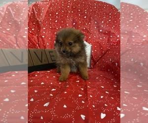 Pomeranian Puppy for sale in SIERRA VISTA, AZ, USA