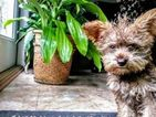 Schnoodle (Miniature)-Scoodle Mix Puppy For Sale in BAY MINETTE, AL, USA