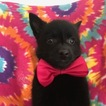 Schipperke Puppy For Sale in QUARRYVILLE, PA, USA