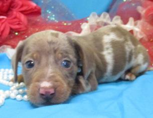 Dachshund Puppy For Sale in FOYIL, OK, USA