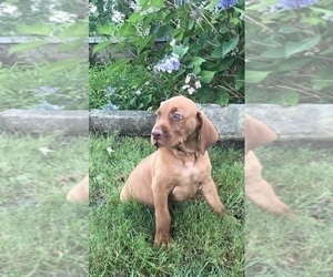Vizsla-Weimaraner Mix Puppy for Sale in KILLEN, Alabama USA
