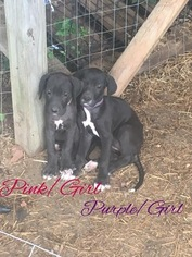 Great Dane Puppy For Sale in WARSAW, MO, USA