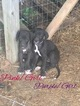 Great Dane Puppy For Sale in WARSAW, MO,
