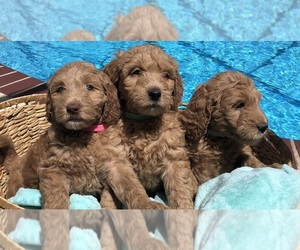Goldendoodle Puppy for Sale in MILTON, Florida USA