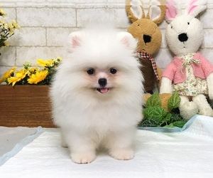 Pomeranian Puppy for sale in MANHATTAN, NY, USA