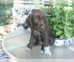 Puppy 5 German Wirehaired Pointer