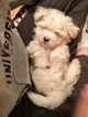 Coton de Tulear Puppy For Sale in LISLE, IL, USA