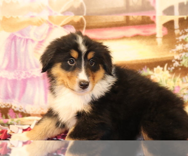 Medium Photo #2 Bernese Mountain Dog-Collie Mix Puppy For Sale in SHILOH, OH, USA