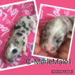 Australian Shepherd-Pembroke Welsh Corgi Mix Puppy For Sale in SAYRE, OK, USA