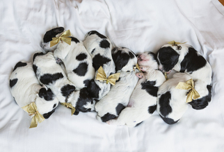 English Cocker Spaniel Puppy For Sale in CORDELE, GA, USA