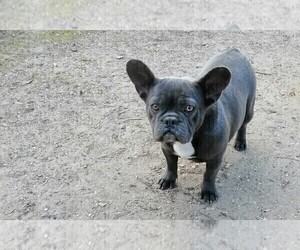 Mother of the French Bulldog puppies born on 03/21/2021