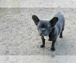 Small Photo #1 French Bulldog Puppy For Sale in Soltvadkert, Bacs-Kiskun, Hungary