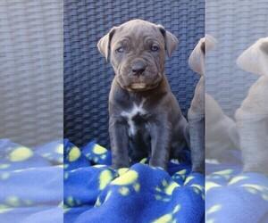 Cane Corso Puppy for Sale in AGUA DULCE, California USA