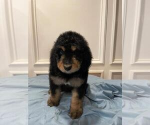 Bernedoodle Dog for Adoption in KATY, Texas USA
