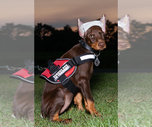 Doberman Pinscher Puppy for sale in MOUNT OLIVE, NC, USA