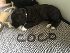 Portuguese Water Dog Puppy For Sale in BUFFALO, NY,
