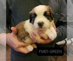 Puppy 3 Saint Bernard