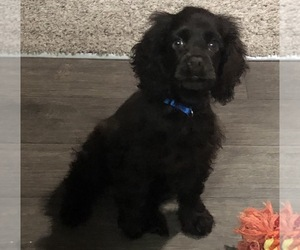 Cocker Spaniel Puppy for sale in KANSAS CITY, MO, USA