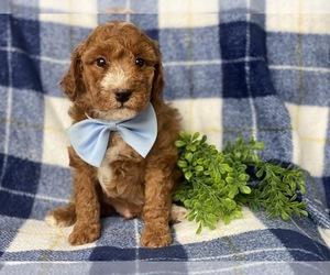 Goldendoodle-Poodle (Miniature) Mix Puppy for sale in CEDAR LANE, PA, USA
