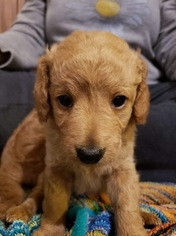 Goldendoodle (Miniature) Puppy For Sale in SCOTTSBORO, AL, USA