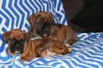 Boxer Puppy For Sale in APPLE CREEK, OH,
