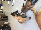 Belgian Malinois Puppy For Sale in WILLIAMSBURG, OH, USA
