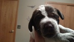 German Wirehaired Pointer Puppy For Sale in MALVERN, IA