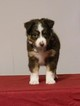 Miniature American Shepherd Puppy For Sale in GARYSBURG, NC, USA