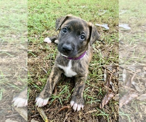 Belgian Malinois Puppy for sale in DECATUR, AL, USA