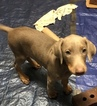 Doberman Pinscher Puppy For Sale in SALEM, OH, USA