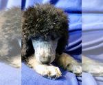 Silver Cream Phantom AKC Standard Poodle