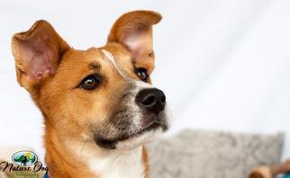 Fiona - Boxer / Collie / Mixed (short coat) Dog For Adoption