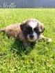 Shih Tzu Puppy For Sale in ELBERTA, AL
