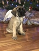 Mastiff Puppy For Sale in PIKETON, OH, USA