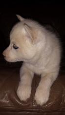 Siberian Husky Puppy For Sale in HENRICO, VA