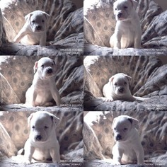 American Bulldog Puppy for sale in COLUMBUS, OH, USA