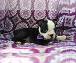 Small #3 Boston Terrier