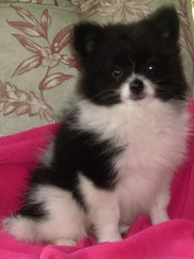 Pomeranian Puppy For Sale in MARTINSVILLE, IN