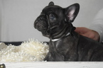 French Bulldog Puppy For Sale in LOXAHATCHEE, FL, USA