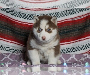 Siberian Husky Dog for Adoption in FREDERICKSBG, Ohio USA