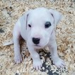 Dogo Argentino Puppy For Sale in JANE, Missouri,