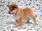 Red Shiba Inu named Dolly
