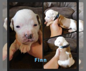 Olde English Bulldogge Puppy for sale in WHEELER, MI, USA