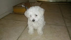 Maltese Puppy For Sale in DIAMOND BAR, CA, USA