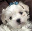 Maltipoo Puppy For Sale in CHESAPEAKE, VA, USA