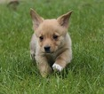 Pembroke Welsh Corgi Puppy For Sale in ALBANY, NY