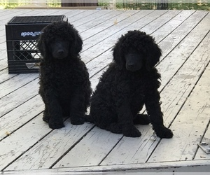 Poodle (Standard) Puppy for Sale in LOGAN, Utah USA