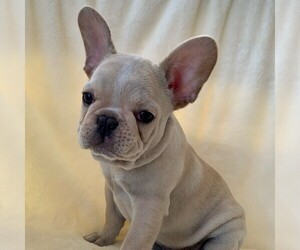 French Bulldog Puppy for sale in HUTCHINSON, KS, USA